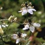 Черный тмин — воистину удивительное растение!