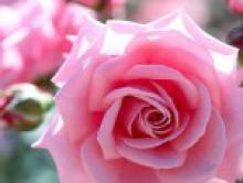 Эфирное масло розы и чакры
