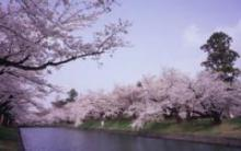 Сакура - символ Японии